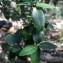 Phillyrea latifolia L. [nn] par Rosma le 26/03/2019 - Jouques