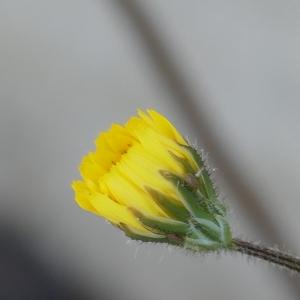 Photographie n°2287730 du taxon Crépis de Nîmes