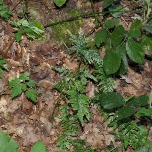 Photographie n°2287850 du taxon Asplenium adiantum-nigrum L.