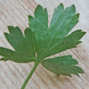 Photographie n°2287896 du taxon Ranunculus bulbosus L. [1753]