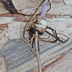 Photographie n°2287897 du taxon Ranunculus bulbosus L. [1753]