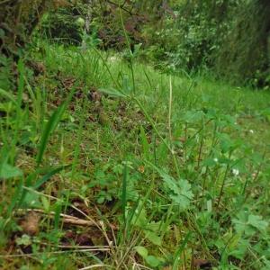 Photographie n°2287899 du taxon Ranunculus bulbosus L. [1753]