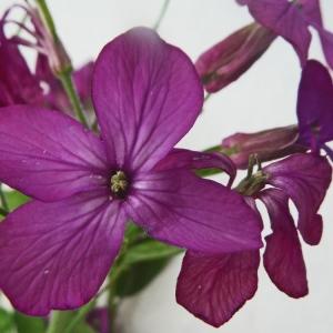 Photographie n°2287914 du taxon Lunaria annua L.