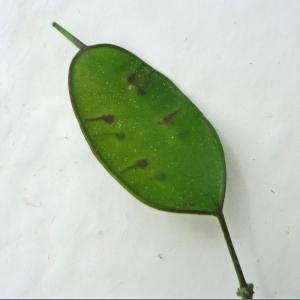 Photographie n°2287918 du taxon Lunaria annua L.