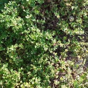 Photographie n°2288024 du taxon Trèfle des près