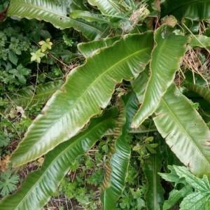 Photographie n°2288082 du taxon Asplenium scolopendrium L. [1753]