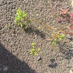 Photographie n°2288164 du taxon Euphorbia peplus L. [1753]