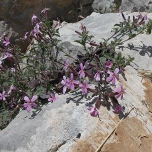 Photographie n°2288242 du taxon Saponaria ocymoides L.