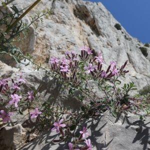 Photographie n°2288245 du taxon Saponaria ocymoides L.