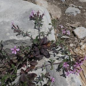 Photographie n°2288246 du taxon Saponaria ocymoides L.