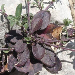 Photographie n°2288247 du taxon Saponaria ocymoides L.