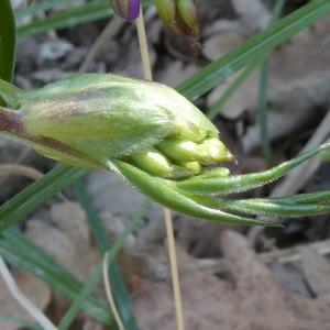Photographie n°2288267 du taxon Vicia angustifolia L. [1759]