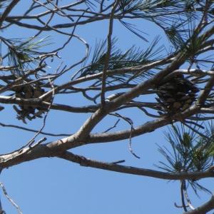 Photographie n°2288554 du taxon Pinus halepensis Mill. [1768]