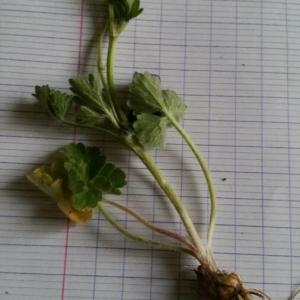 Photographie n°2288746 du taxon Ranunculus bulbosus L. [1753]