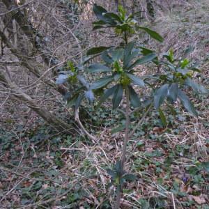 Photographie n°2289027 du taxon Daphne laureola L. [1753]