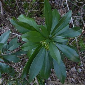 Photographie n°2289029 du taxon Daphne laureola L. [1753]