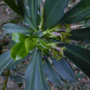 Photographie n°2289030 du taxon Daphne laureola L. [1753]