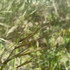 Photographie n°2289088 du taxon Anisantha sterilis (L.) Nevski [1934]