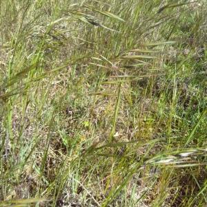 Photographie n°2289090 du taxon Anisantha sterilis (L.) Nevski [1934]