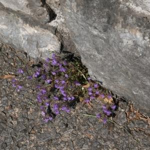 - Chaenorhinum origanifolium subsp. origanifolium