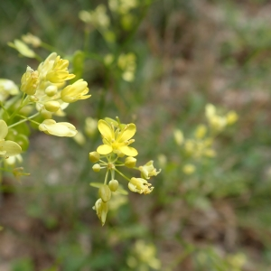 Photographie n°2289567 du taxon Brassicaceae