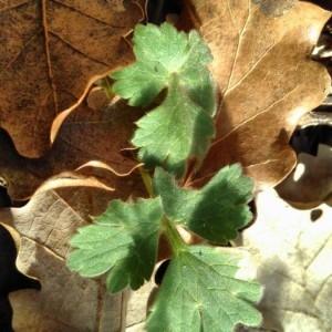 Photographie n°2289643 du taxon Ranunculus bulbosus L. [1753]