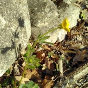 Photographie n°2289644 du taxon Ranunculus bulbosus L. [1753]