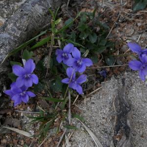 Photographie n°2289706 du taxon Viola riviniana Rchb.