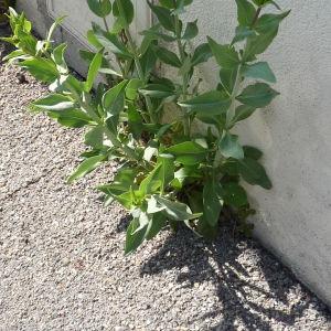 Photographie n°2289745 du taxon Centranthe lilas-d'Espagne