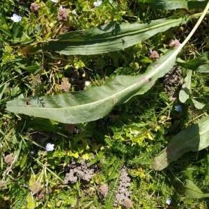 Photographie n°2289939 du taxon Rumex acetosa L. [1753]