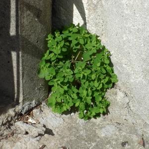 Photographie n°2289988 du taxon Euphorbia peplus L. [1753]