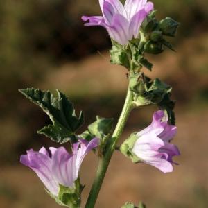 Photographie n°2290009 du taxon Malva pseudolavatera Webb & Berthel. [1836]