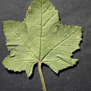 Photographie n°2290025 du taxon Malva pseudolavatera Webb & Berthel. [1836]