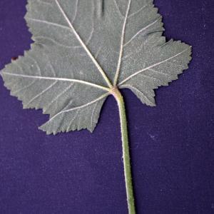 Photographie n°2290026 du taxon Malva pseudolavatera Webb & Berthel. [1836]