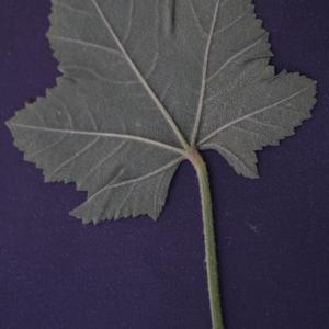 Photographie n°2290029 du taxon Malva pseudolavatera Webb & Berthel. [1836]