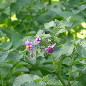 Photographie n°2290152 du taxon Solanum tuberosum L.