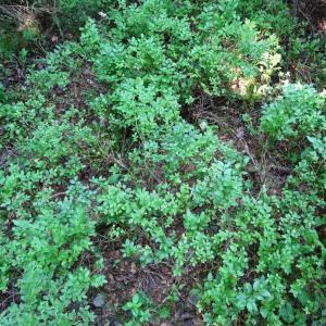 Photographie n°2290157 du taxon Vaccinium myrtillus L.