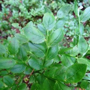 Photographie n°2290158 du taxon Vaccinium myrtillus L.