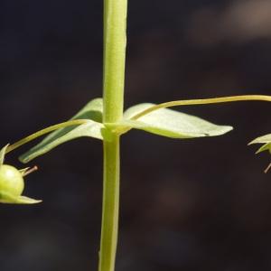Photographie n°2290238 du taxon Lysimachia arvensis (L.) U.Manns & Anderb. [2009]