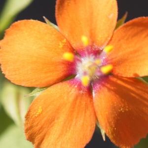 Photographie n°2290246 du taxon Lysimachia arvensis (L.) U.Manns & Anderb. [2009]