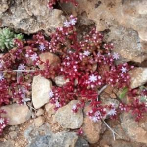 Photographie n°2290262 du taxon Sedum caeruleum L. [1771]