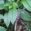 Phytolacca rivinoides Kunth & Bouché [nn8188] par Guy Van Laere le 01/04/2019 - Saint-Claude