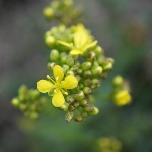Biscutella arvernensis Jord. (Biscutelle d'Auvergne)