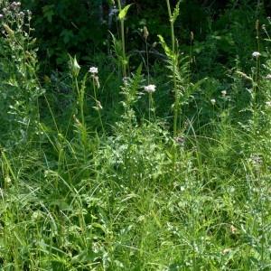 Photographie n°2290684 du taxon Cirsium oleraceum (L.) Scop. [1769]