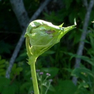 Photographie n°2290690 du taxon Cirsium oleraceum (L.) Scop. [1769]