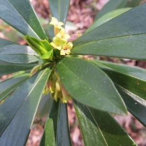 Photographie n°2290754 du taxon Daphne laureola L. [1753]