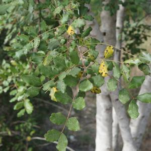 Photographie n°2290920 du taxon Ceratonia siliqua L.