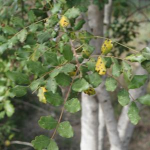 Photographie n°2290921 du taxon Ceratonia siliqua L.