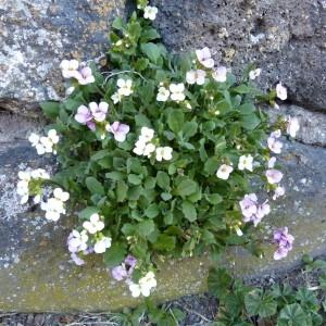 - Arabis caucasica Willd. ex Schltdl. [1813]