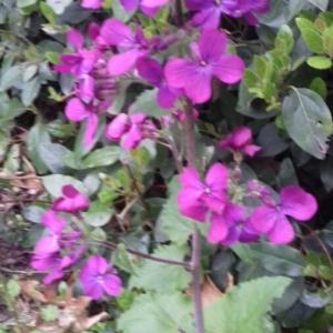 Photographie n°2291662 du taxon Lunaria annua L. [1753]